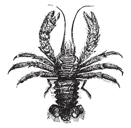 squat: Squat lobster, vintage engraved illustration. Illustration