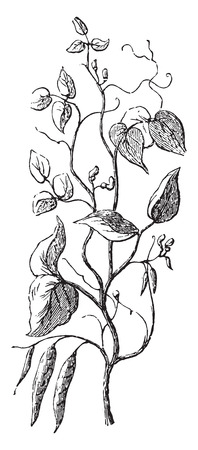 pulses: Bean, vintage engraved illustration. Illustration