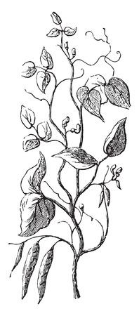 pulses: Bean, vintage engraved illustration. Illustration