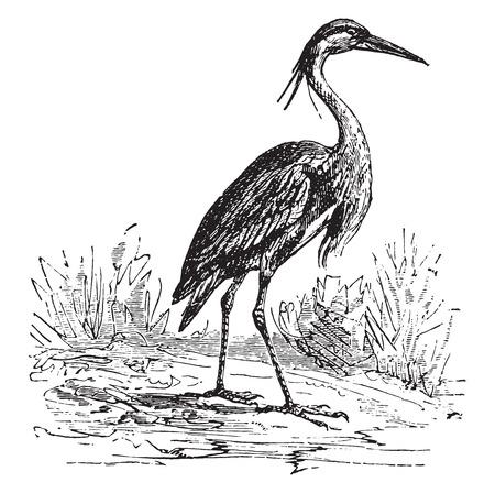 Heron, vintage engraved illustration.