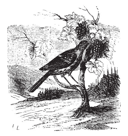 thrush: Vine thrush, vintage engraved illustration. Illustration