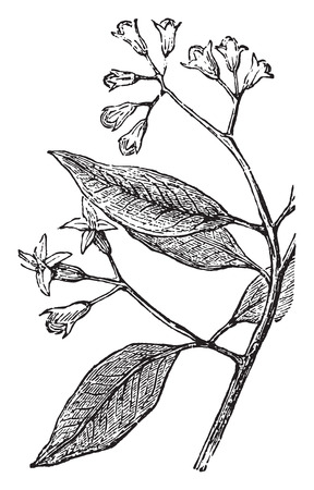 clove of clove: Clove, vintage engraved illustration.