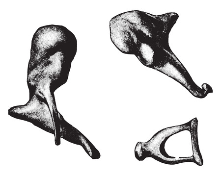 malleus: Bones of ear- hammer, anvil, stirrup, vintage engraved illustration.