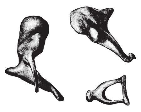 stirrup: Bones of ear- hammer, anvil, stirrup, vintage engraved illustration.