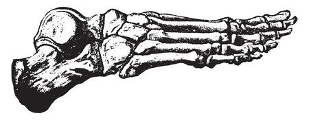 Bones of the foot, vintage engraved illustration.