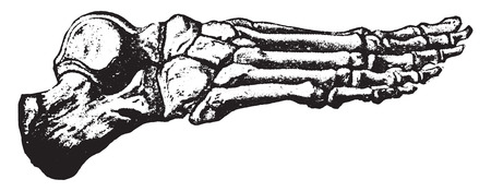 cuboid: Bones of the foot, vintage engraved illustration.