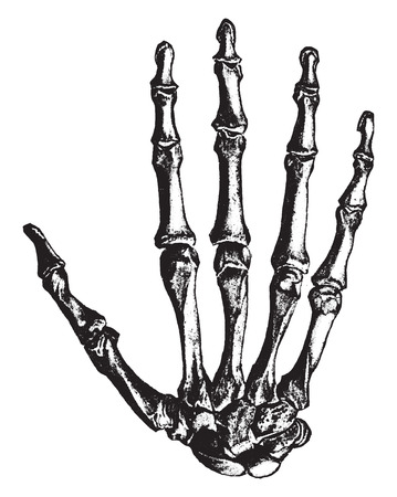 Bones of the hand, vintage engraved illustration.