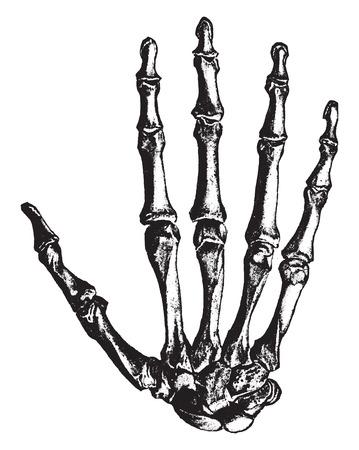 finger bones: Bones of the hand, vintage engraved illustration.