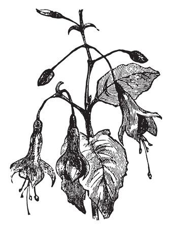 Fuchsia, vintage engraved illustration. Иллюстрация