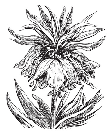 genus: Fritillaria, vintage engraved illustration.