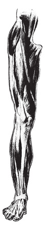 thigh: Front view of muscles of thigh and leg, vintage engraved illustration.