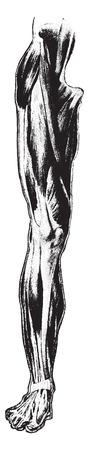 Vooraanzicht van de spieren van de dij en been, vintage gegraveerde illustratie. Stock Illustratie