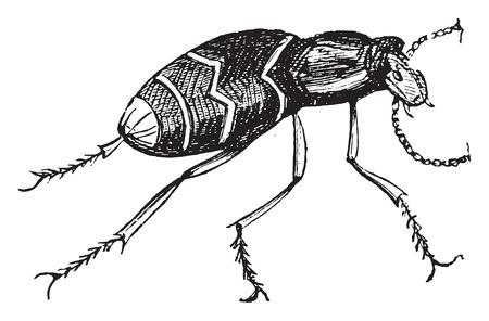 Meloe, vintage engraved illustration.