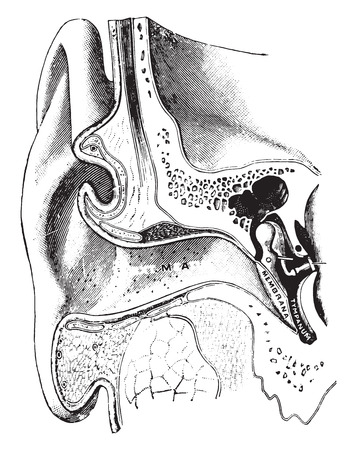 vintage anatomy: A diagrammatic view of the ear, vintage engraved illustration.