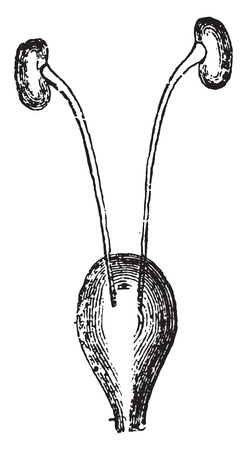 Kidneys and bladder, vintage engraved illustration.