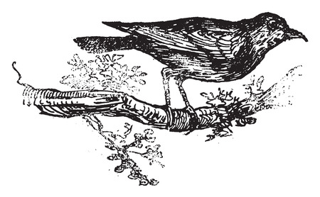 turdidae: Redwing, vintage engraved illustration. Illustration