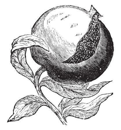 vintage drawing: Pomegranate, vintage engraved illustration.