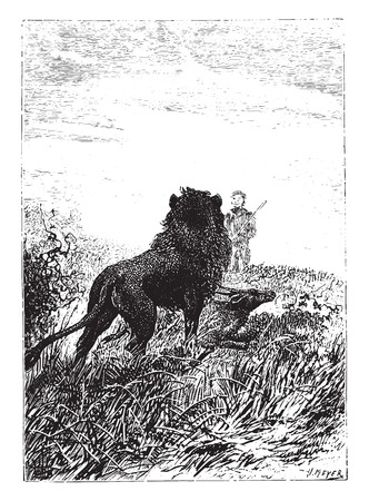 dick: Lion watching Dick Sand, vintage engraved illustration.