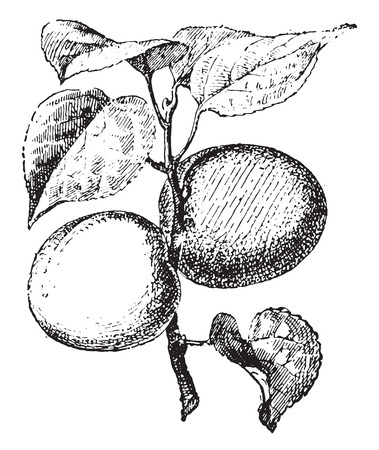 Apricot, vintage engraved illustration. Dictionary of words and things - Larive and Fleury - 1895.