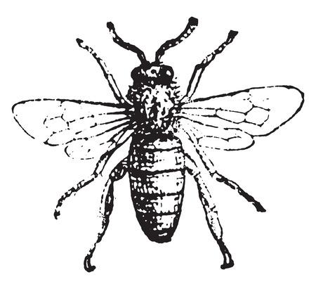 abeja: Abeja, ilustración de la vendimia grabado. Diccionario de palabras y las cosas - Larive y Fleury - 1895.