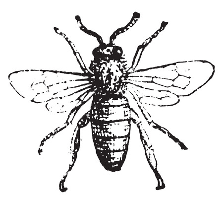 to engrave: Bee, vintage engraved illustration. Dictionary of words and things - Larive and Fleury - 1895. Illustration