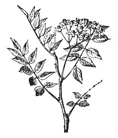 mahogany: Mahogany, vintage engraved illustration. Dictionary of words and things - Larive and Fleury - 1895.