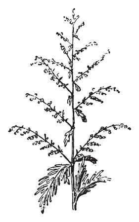 ajenjo: Absinthe, ilustraci�n de la vendimia grabado. Diccionario de palabras y las cosas - Larive y Fleury - 1895.