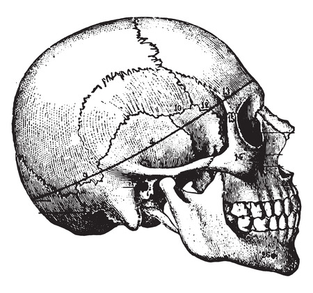 brain illustration: Circumferential saw-cut, to be preferred in all medicolegal cases, vintage engraved illustration. Illustration