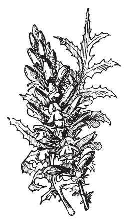 herbaceous: Acanthus, vintage engraved illustration. Dictionary of words and things - Larive and Fleury - 1895.