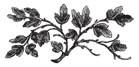 불모의 무화과 나무, 빈티지 새겨진 그림. 일러스트