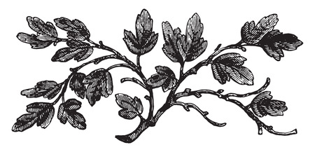 feuille de vigne: Le figuier stérile, illustration vintage gravé. Illustration