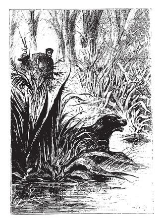 Dingo disappeared between the double row of shrubs, vintage engraved illustration. Ilustração