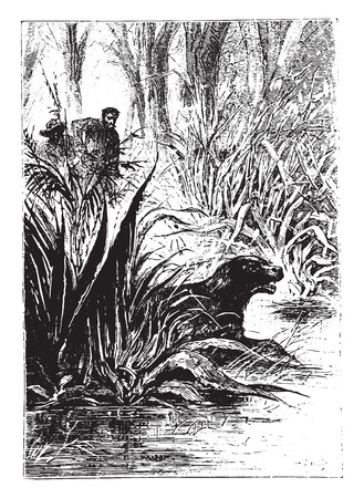 dingo: Dingo disappeared between the double row of shrubs, vintage engraved illustration. Illustration