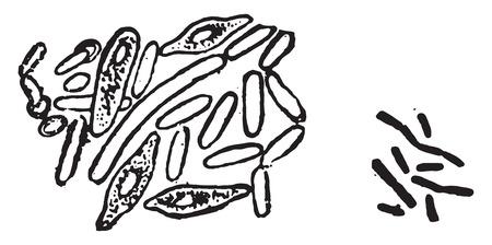 Fig 122-Bacillus butyricus, Fig 123-Bacillus acidi lactici, vintage engraved illustration.