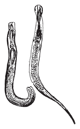 Oxyuris vermicularis, vintage engraving.