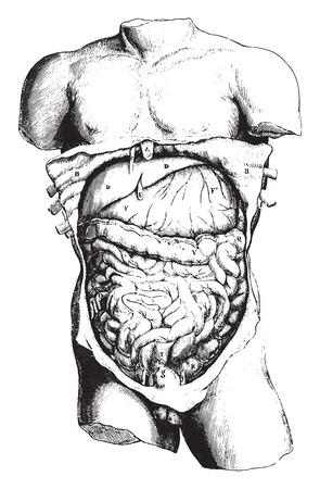 Anatomy, vintage engraved illustration.