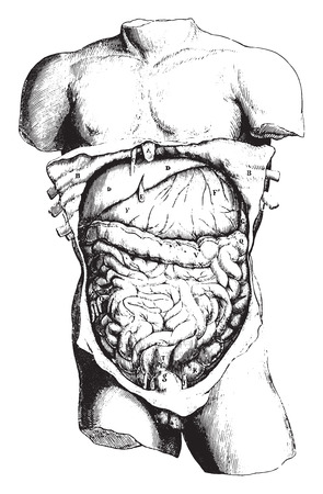 duodenum: Anatomy, vintage engraved illustration.