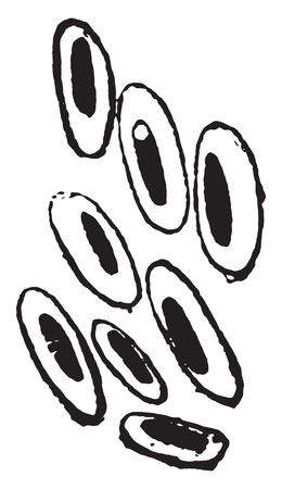bacillus: Bacillus of hinoscleroma, vintage engraved illustration.