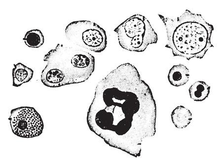Elements of human bone-marrow, vintage engraved illustration.