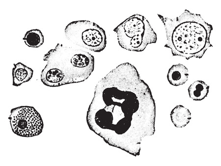 Elements of human bone-marrow, vintage engraved illustration. Illustration