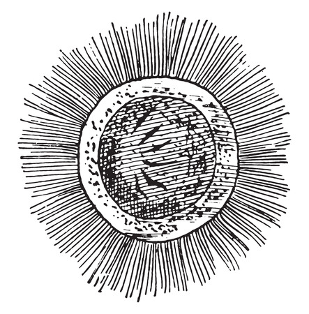 embryo: Free swimming embryo of the Bothriocephalus latus, vintage engraved illustration.