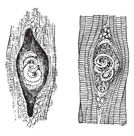 Trichina spiralis, vintage engraved illustration. Ilustrace