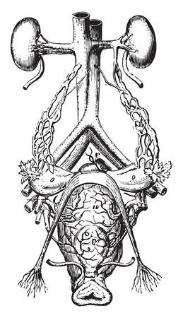 urinario: Del tratto urinario, vintage illustrazione inciso.