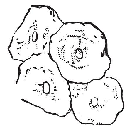 squamous: Squamous epithelium, vintage engraved illustration.