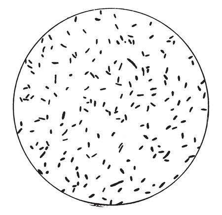 bacillus: Bacillus typhi abdominalis, vintage engraved illustration.