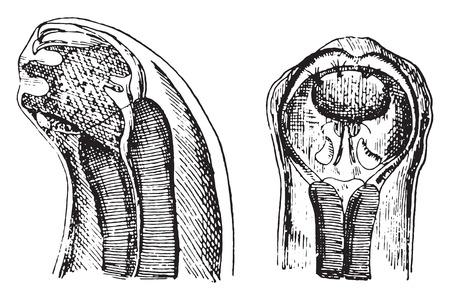 extremity: Cephalic extremity of dochmius duodenalis, vintage engraved illustration.