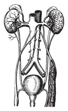 Urinary tract, vintage engraved illustration. Illustration