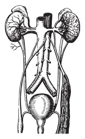 vintage anatomy: Urinary tract, vintage engraved illustration. Illustration