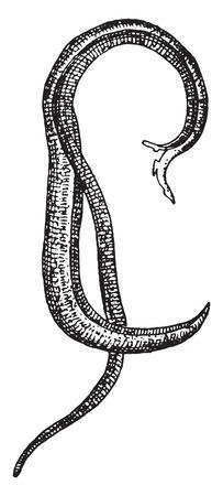 squamous: Bilharzia haematobia, vintage engraved illustration.
