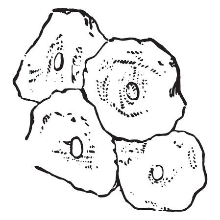 Squamous epithelium Illustration